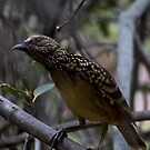 Western Bower Bird -  about to engage with a girl friend by john  Lenagan
