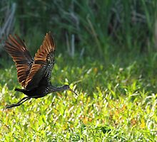 Flying Limpkin by Carol Bailey White