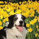Dog in the Daffodils by meg price