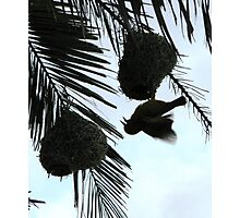 Weaver Bird Photographic Print
