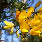 Gorse Flowers by looneyatoms