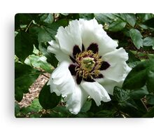 Chinese Tree Peony Canvas Print