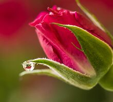 Within the Rose by Lynn Gedeon