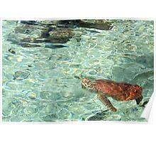 Green Turtle - Bora Bora Poster