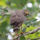 Roadside Hawk by hummingbirds
