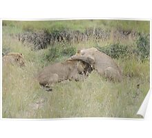 Male lions fighting over food Poster