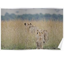 Lionesses hunting Poster