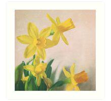 Golden yellow daffodils Art Print