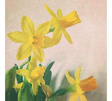 Golden yellow daffodils Photographic Print