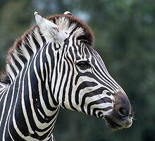 Zebra Profile by Steve Randall