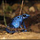 Poison Dart Frog ~ Sapphire Blue  by Kimberly Chadwick