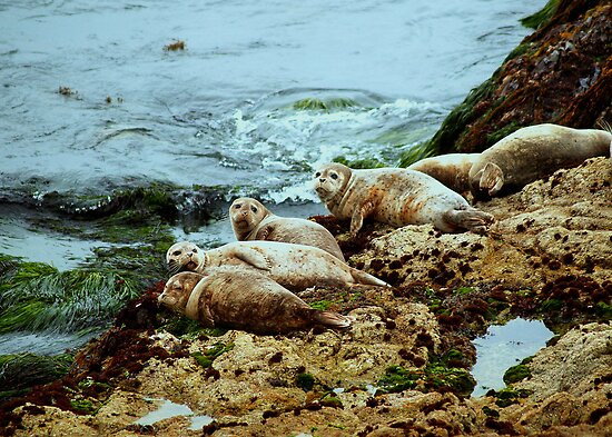 Seals in Monterey, CA by Diana Graves Photography