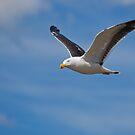 Pacific Gull #3 by Chris Cobern
