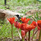 'SORRY I CAN'T RESIST THEM'! New Holland Honeyeater spoiling the flowers. Mt. Pleasant. S.A. by Rita Blom
