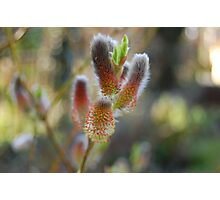 Willow buds Photographic Print
