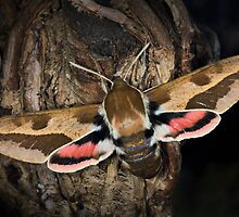 Spurge Hawk-Moth by jimmy hoffman