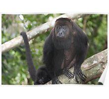 Howler Monkey in Belize Poster