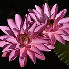 Two Pink Water Lilies by cclaude