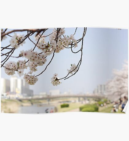 cherry blossoms on a blue sky Poster