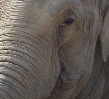 Laughing Elephant by TheShutterbugsG