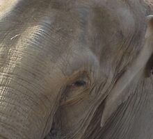 Old Elephant by TheShutterbugsG