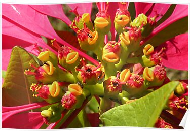 Poinsettia Flowers by Trish Meyer
