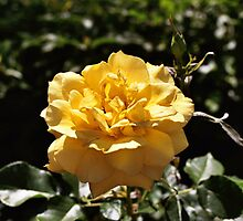 Yellow Rose by Emily Rose