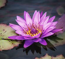Purple Lilly by Emily Rose