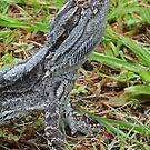 A Rock-Steady Bearded Dragon  by stevealder