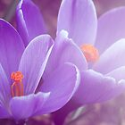 Crocus blue by RosiLorz
