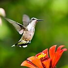 Shimmering Breeze Hummingbird by Christina Rollo