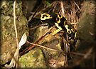 Yellow-banded Dart Frog by Kimberly Chadwick