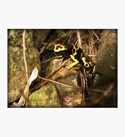 Yellow-banded Dart Frog Photographic Print