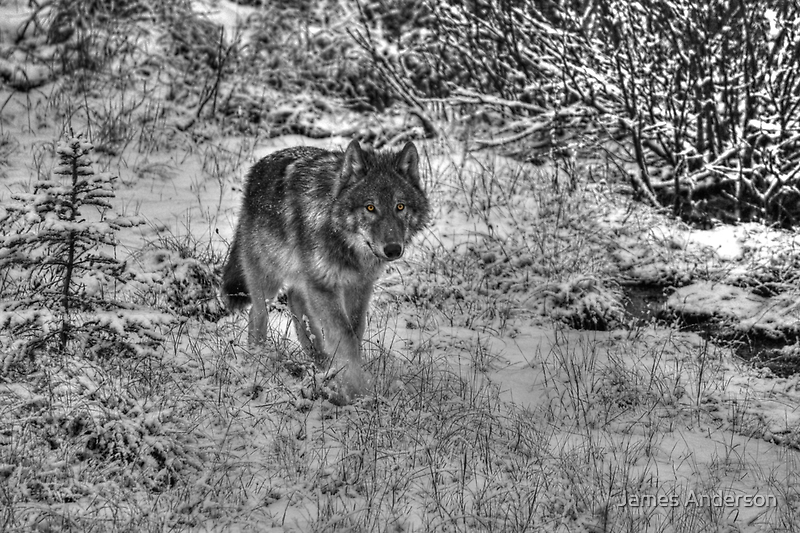 Lone Wolf - Yellow Eyes by JamesA1