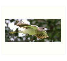 Juvenile Butcher bird  Art Print