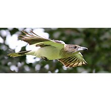 Juvenile Butcher bird  Photographic Print