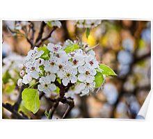 Yoshino Cherry Flower Poster