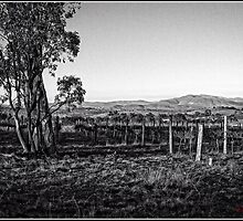 Vineyard behind Holt in Canberra by Wolf Sverak