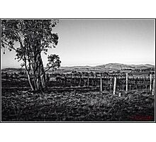 Vineyard behind Holt in Canberra Photographic Print