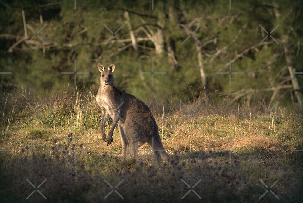 Kangaroo by Deborah McGrath