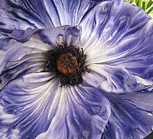 Phony Purple Poppy  by Monnie Ryan