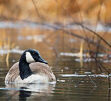 Canada Goose by Bill Wakeley