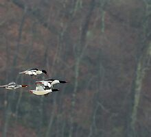 Mergansers In Flight by Bill Wakeley