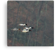 Mergansers In Flight Square Canvas Print