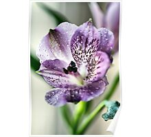 Alstromeria Flower 2037 Poster