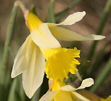 Daffodil by Robert Carr
