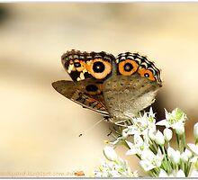 Meadow Argus Butterfly by robynart