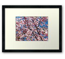 Lovely Cherry Blossoms  Framed Print