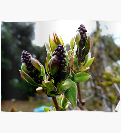 Lilac Buds Poster