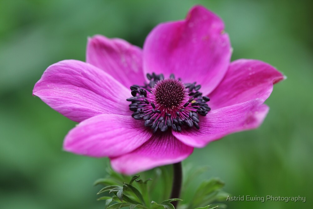 Awesome Anemone by Astrid Ewing Photography